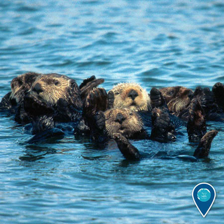 photo of a group of otters floating in the water