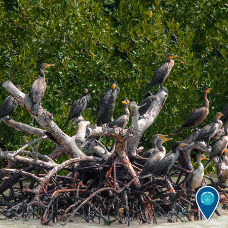 photo of cormarants resting on mangrove trees