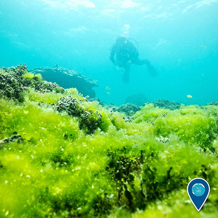 photo of a diver and green algae growing on coral under water