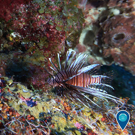 photo of a lionfish swimming