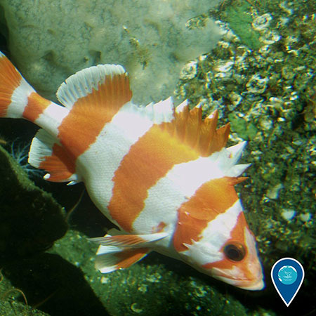 photo of a white and orange striped fish