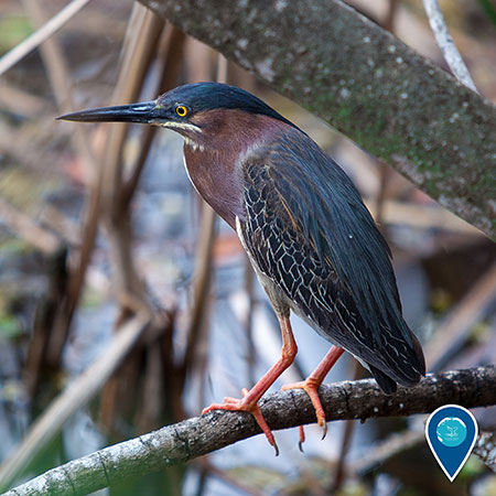 photo of a green heron