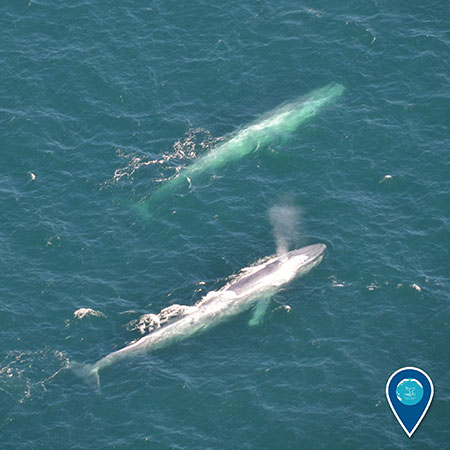 photo of a whale and a calf swimming