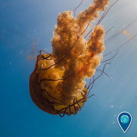 photo of a golden brown jelly fish swimming upside down