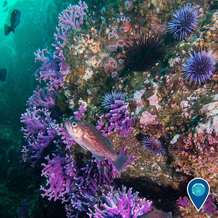 photo of a fish swimming with purple sea urchins and hydrocorals in the background