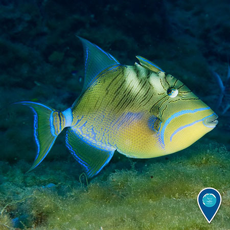 photo of a bright yellow and blue queen triggerfish