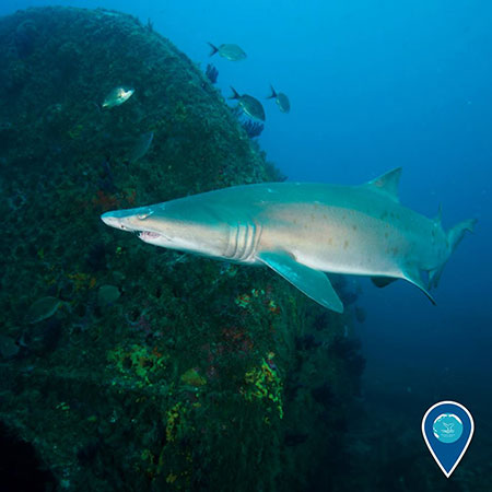 photo of a sand tiger shark swimming
