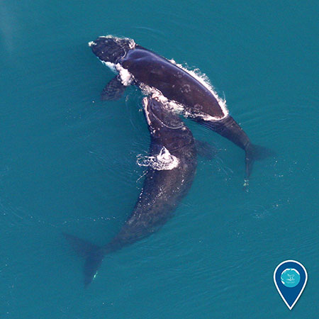 photo of 2 north atlantic right whales