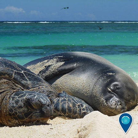 photo of a monk seal and turtle snuggling on the beach