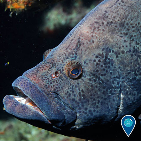 photo of a grouper up close
