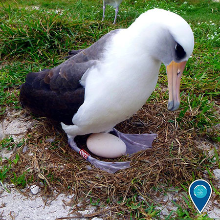 photo of a layson albatross with an egg