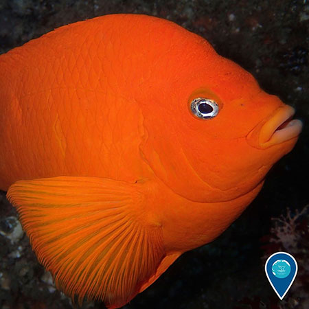 photo of an orange garibaldi