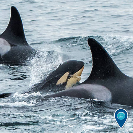 photo of orca whales and a calf swimming