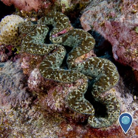 close up of a giant clam