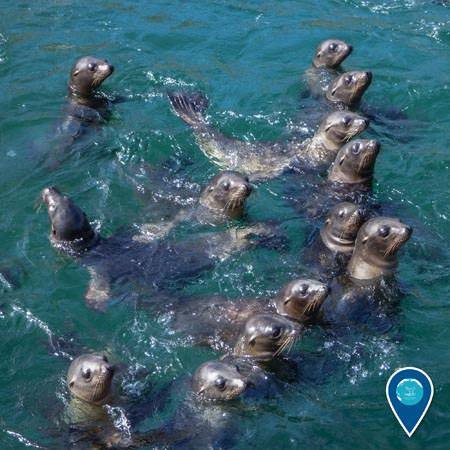 group of sea lions in the water all looking one direction