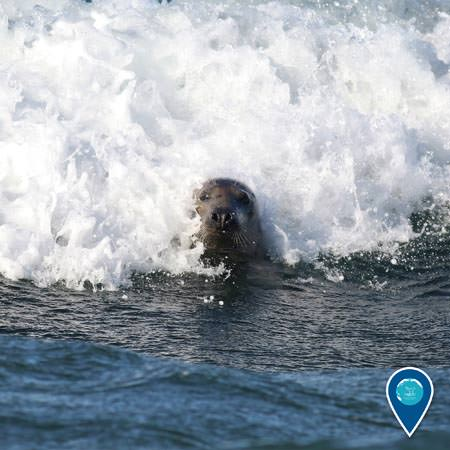 gray seal riding a wave