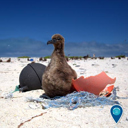 albross chick surrounded by marine debris