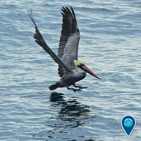 brown pelican taking flight from the surface of the water