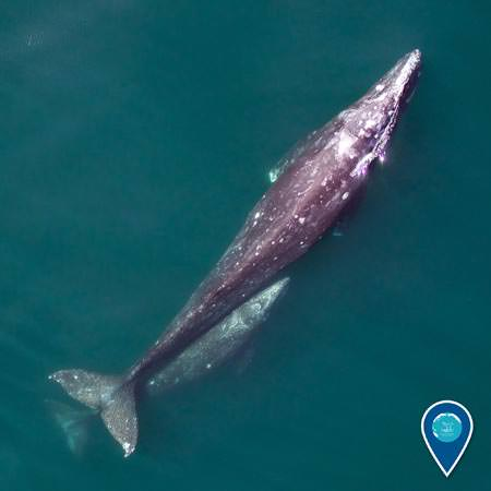 overhead view of a gray whale breaching