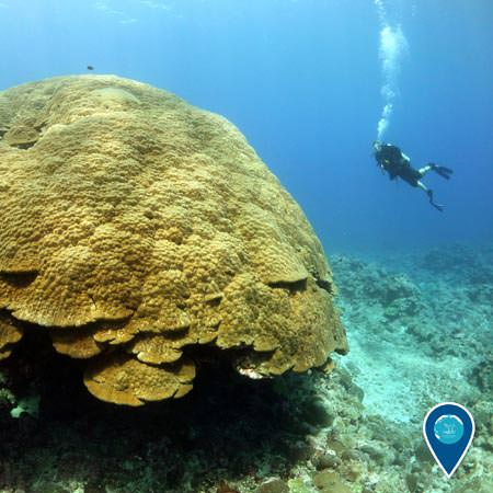 the coral know as big mama and a diver swimming near by
