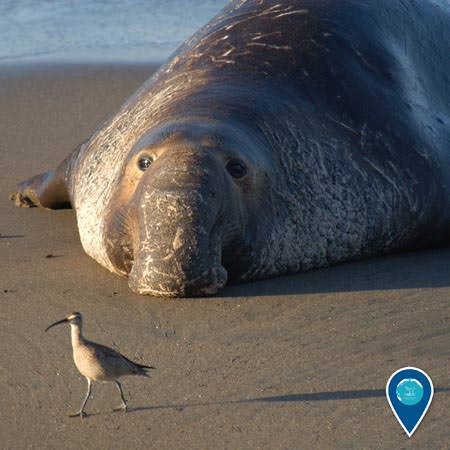 an elephant seal lies on the beach while a bird walk in front of it