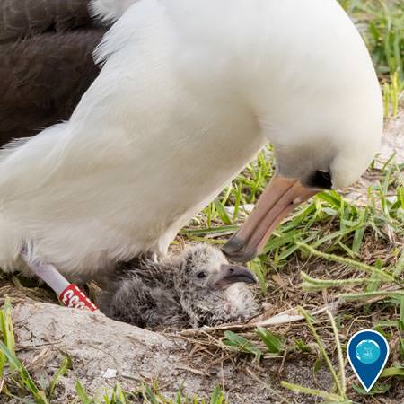 a Laysan albatross taking care of her chick