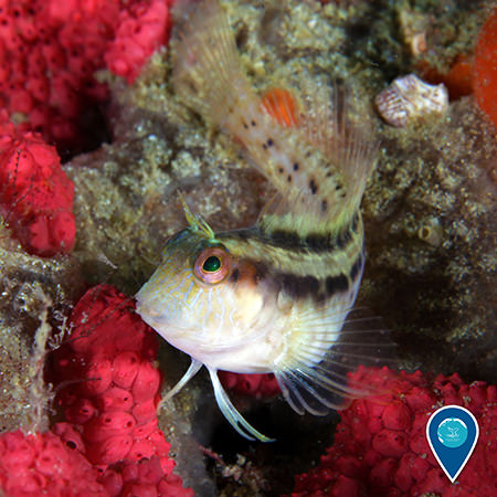 A seaweed blenny fish in Gray's Reef National Marine Sanctuary