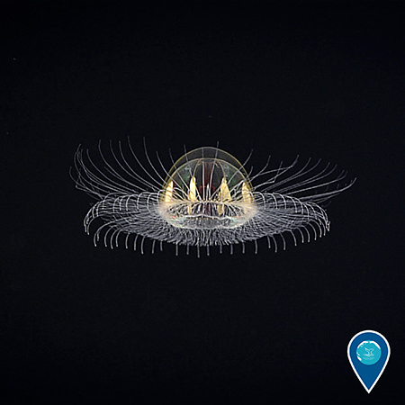 Jelly fish spotted while exploring the deep waters in and around National Marine Sanctuary of American Samoa