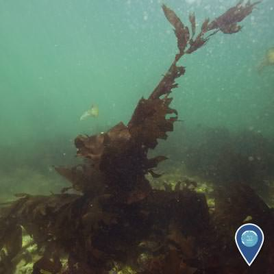 inavasive seaweed growing for the bottom of the sea