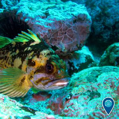 a balck and yellow rockfish coming out from a hiding spot in a rocky area in channel islands national marine sanctuary