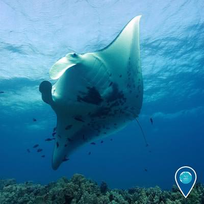 a manta ray swimming above while small fish clean the ray
