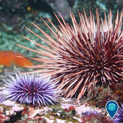 a small and large sea urchin next to each other on a rock