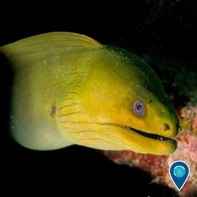 green moray eel swimming popping out of a coral reef