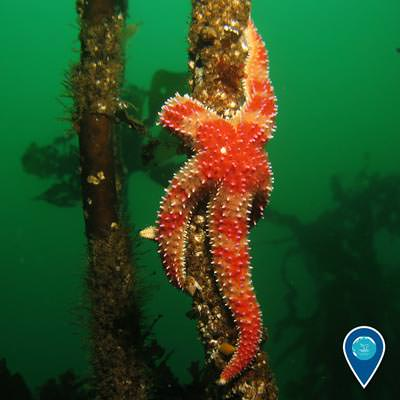 sea star attached to a piece of kelp rising up from the bottom of the sea