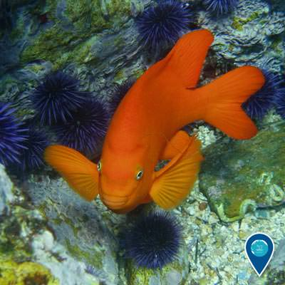 a garibaldi swimming near rocks covered in urchins