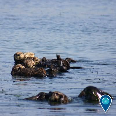 sea otters raft together in Elkhorn Slough