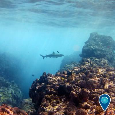 blacktip reef shark swims through the reef at Rose Atoll