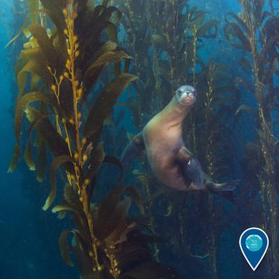 seal lion swimming through a kelp forest