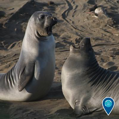 two northern elephant seal pups play-fight on the beach in Monterey Bay National Marine Sanctuary