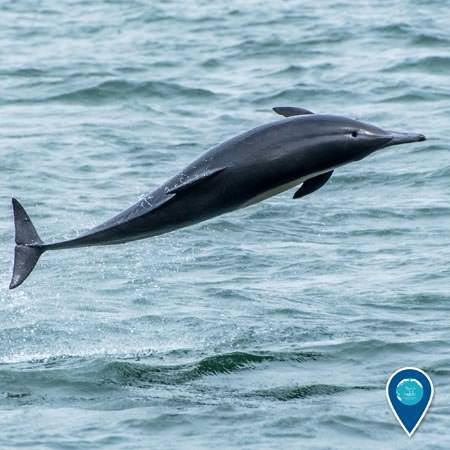 common dolphin jumping into the air