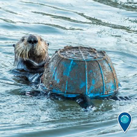 sea otter playing with a discarded plastic basket in monterey bay