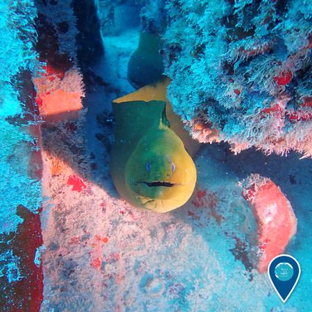 green moray eel peaking its head out of its hiding place, an artificial reef