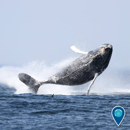 a humpback whale fully breaching the water with its body