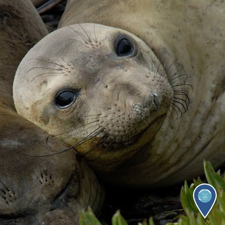 northern elephant seal resting