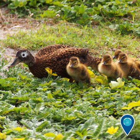 a laysan duck with her brood