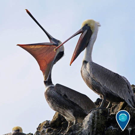two california brown pelicans among the rocks, one has its mouth wide open
