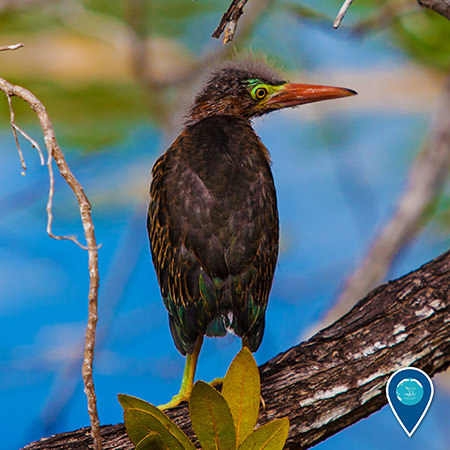 a green heron sits perched on a limb of a mangrove