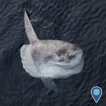 a mola mola or sunfish near the surface of the water