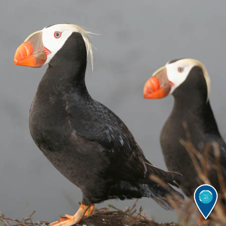 two puffins standing next to each other