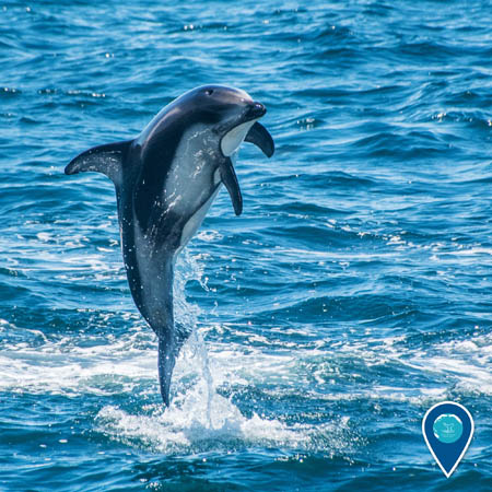 white-sided dolphin jumping out of the water